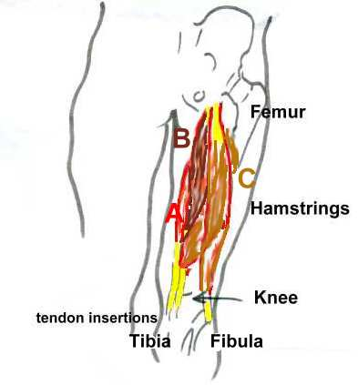 Hamstring - ROM & Stretching